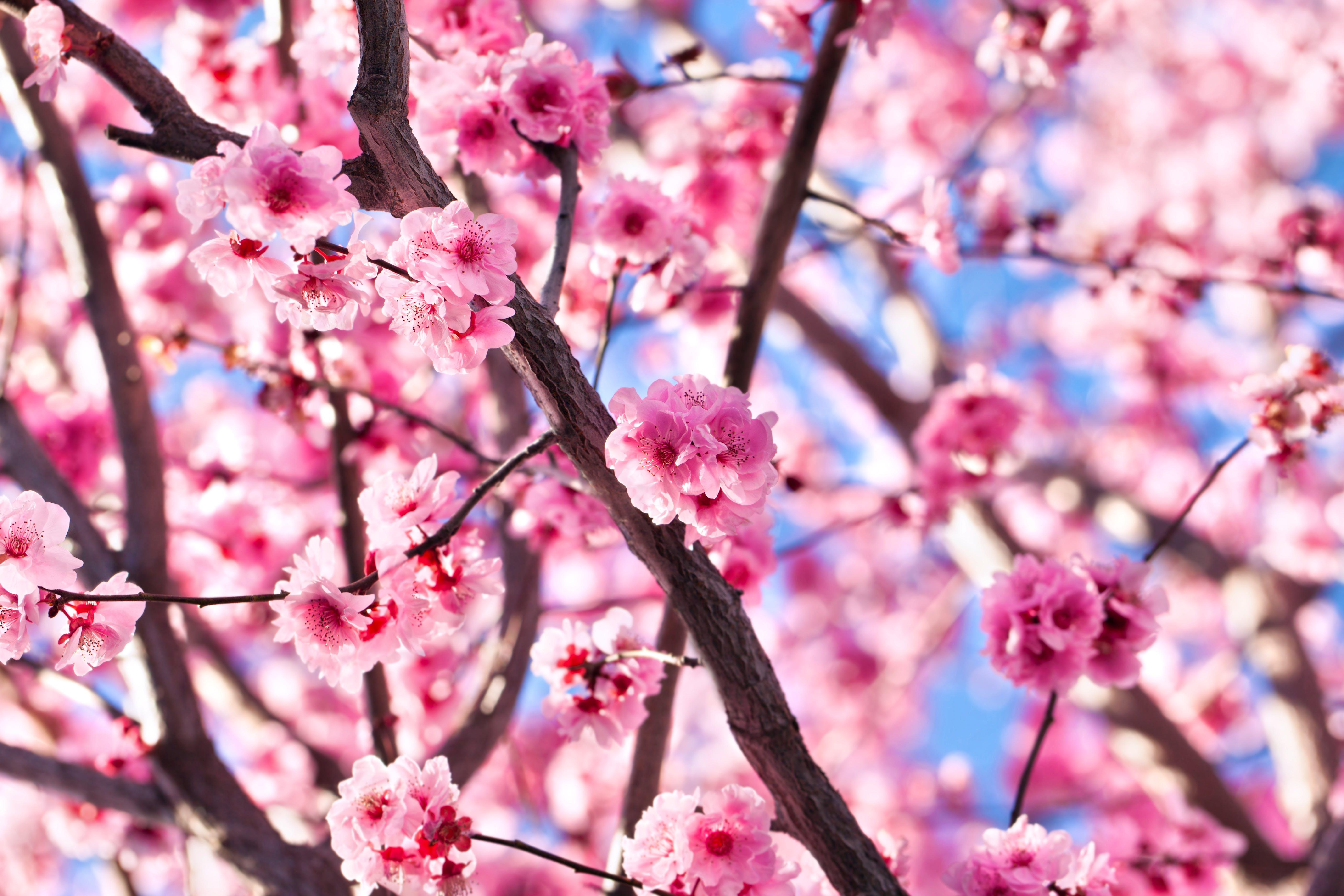 Japan in full bloom